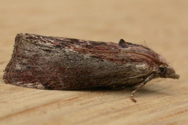 A műanyag zacskókat is képes elfogyasztani a nagy viaszmoly hernyója