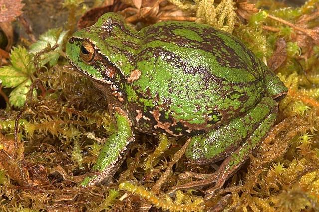 Új erszényesbékafajt fedeztek fel Amazónia perui részén