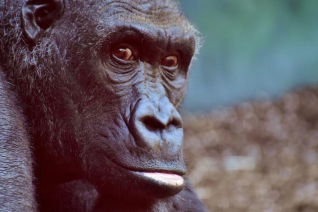 A gorillák különleges módon foglalkoznak halott társaikkal