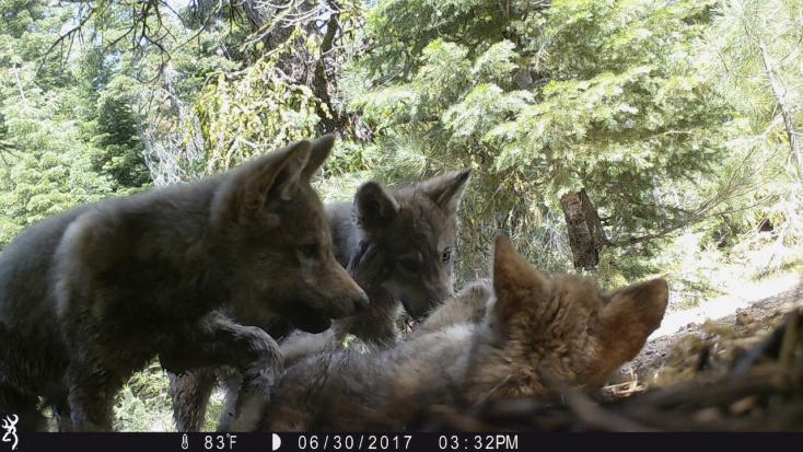 Elszaporodtak Szlovákiában a medvék és a farkasok
