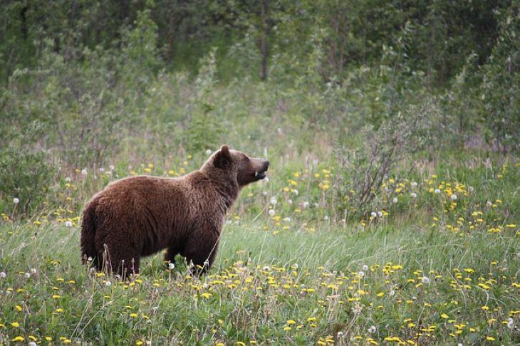 Egyre nő a grizzly medvék élettere, de továbbra is védelemre szorulnak