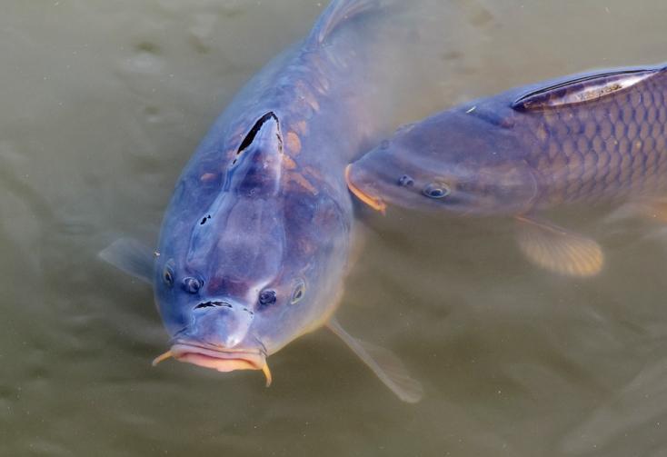 A halak 60 százaléka számára végzetes lehet a klímaváltozás