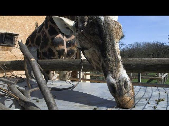 Elpusztult Európa legöregebb hím zsiráfja