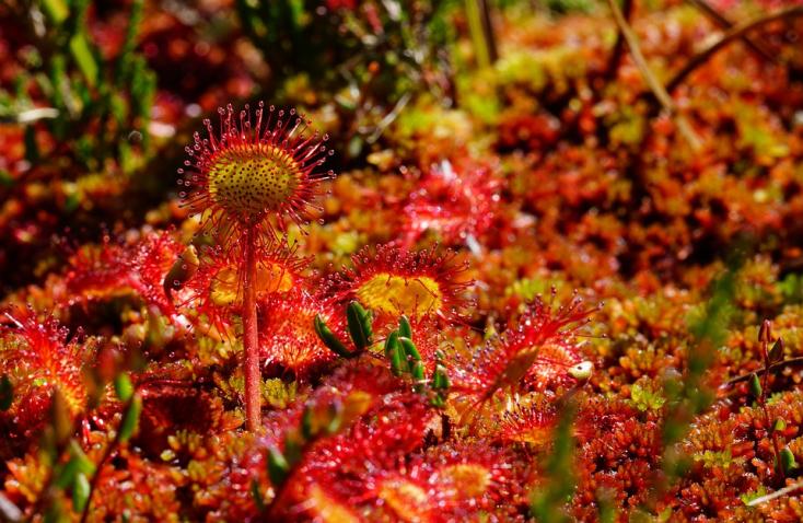 A húsevő növények negyedét kihalás fenyegeti