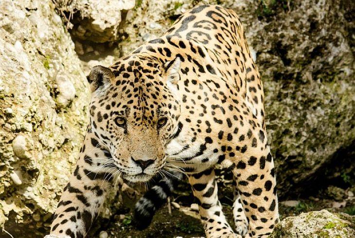 Visszatelepítenék a jaguárokat az Egyesült Államokba