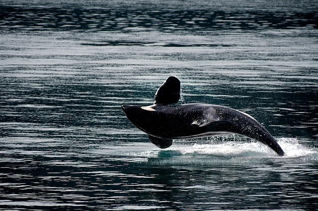A kardszárnyú delfinek eddig ismeretlen faját fedezhették fel Chile partjainál (VIDEÓ)