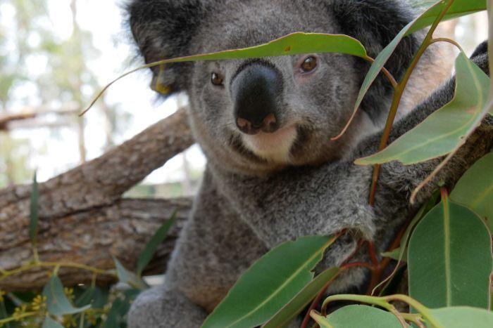 Több száz koala éghet el élve a napok óta tomboló erdőtűzben Ausztráliában