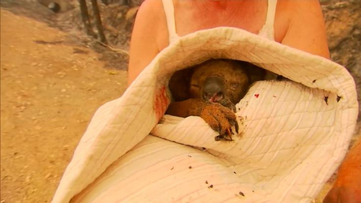 Testi épségét veszélyeztetve mentett meg egy nő egy koalát a bozóttűztől - VIDEÓ