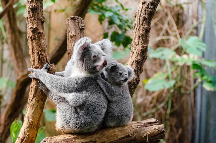 Új területre költöztetik a bozóttüzek miatt a koalákat Ausztráliában