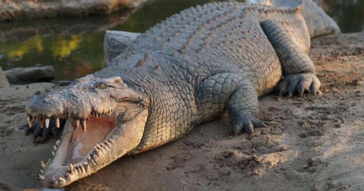 Műtéteknél használatos segédeszközt találtak egy krokodilban Ausztráliában