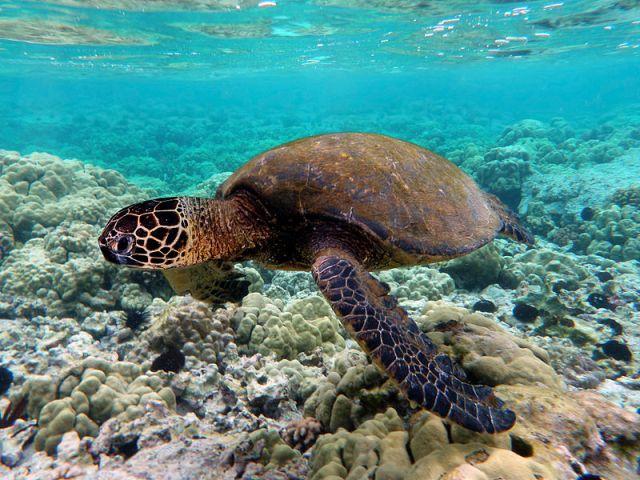 Kihalás fenyegeti a Nagy-korallzátonynál élő teknősöket az óceán melegedése miatt