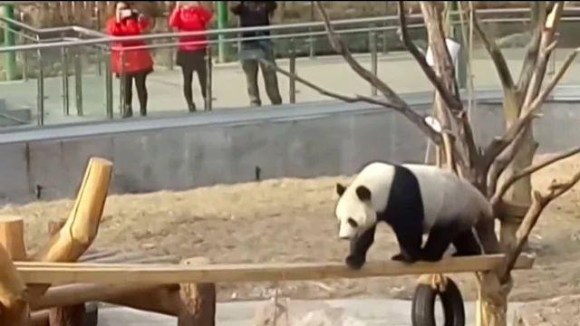 Négy év után tudták meg, hogy a híres óriáspanda hímnemű