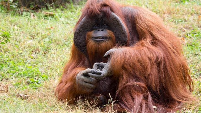 Elpusztult a jelnyelvet használó orangután