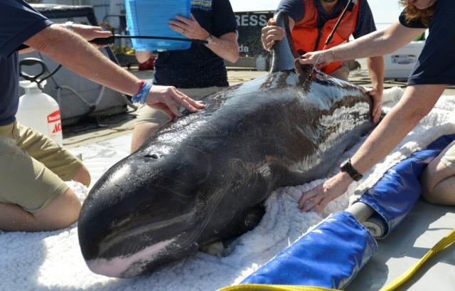 Megmentették a hétvégén Új-Zélandon partra vetődött törpe kardszárnyú delfinek egy részét