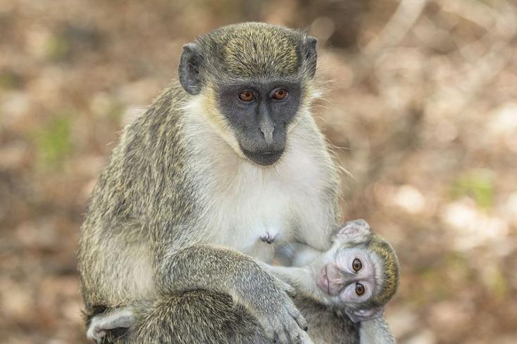 Az évszázadokon át tartó alkalmazkodás védi az AIDS-től a majmokat