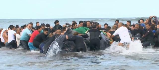 Nem sikerült megmenteni egy partra vetődött 6 tonnás bálnát