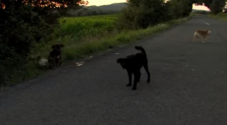Kiraktak három kutyát az út szélére, a rendőrök alaposan megküzdöttek a befogásukkal