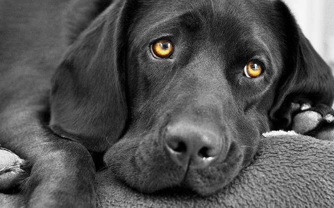 25. éve a labrador a legmenőbb kutyafajta az USA-ban