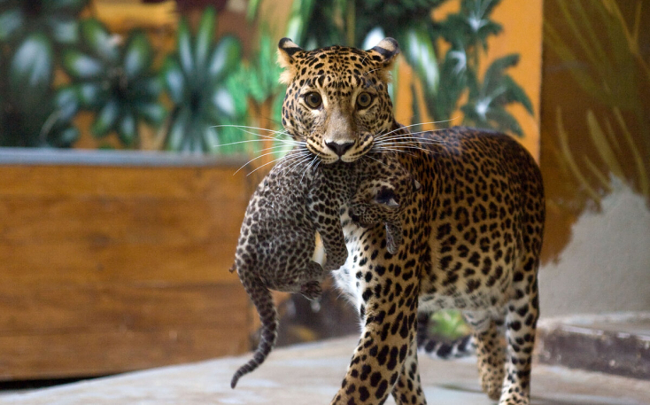 Váratlanul bezárták a pozsonyi állatkertet – megszökött egy leopárd!
