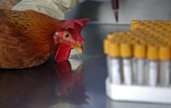 Oroszországban emberre terjedt át az A(H5N8) madárinfluenza