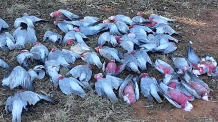 Rágcsálókelleni méregtől pusztulhatottel több tucatkakaduÚj-Dél-Walesben