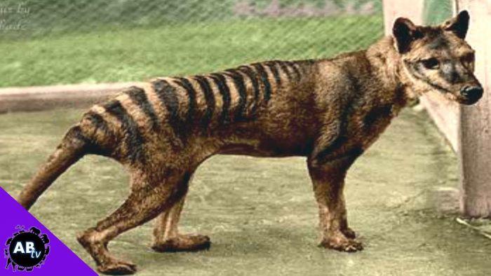 Színezett filmfelvételen keltették életre a kihalt tasmán tigrist