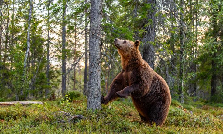 A települési hulladék nem megfelelő kezelése miatt közelítenek a medvék a lakott területek felé