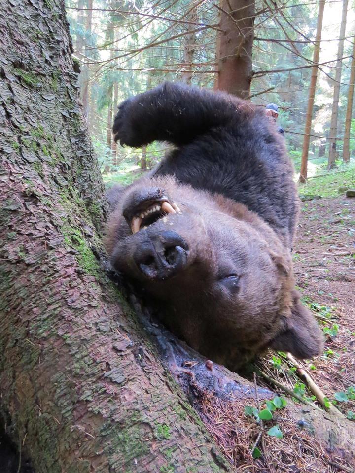 Megint embert ölt a medve Maros megyében