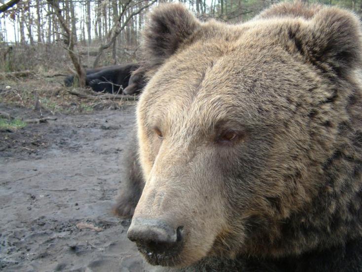 Medve támadt egy erdélyi kislányra