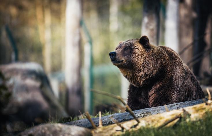 Kilencéves kisfiúra támadt egy medve