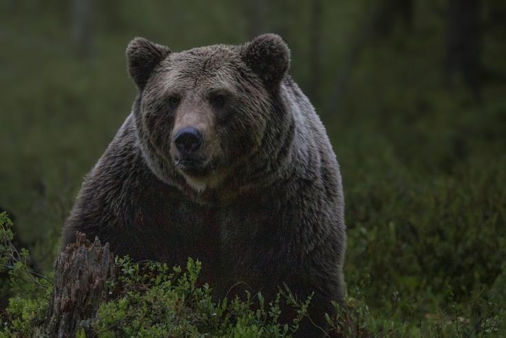 Medvét láttak a Galántai járásban