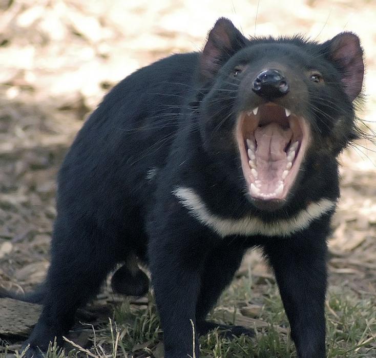 Dingók irthatták ki, de 3 ezer év után visszatérhetnek az ördögök Ausztráliába