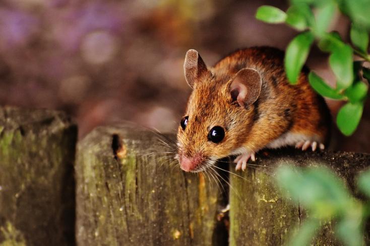 Két anyától származó egereket hoztak létre