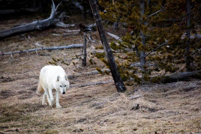 Lelőtték a Yellowstone Nemzeti Park leghíresebb farkasát – el kellett altatni
