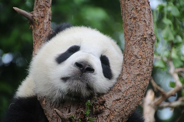 Az eddigi legnagyobb súlyú pandaikrek születettek Kínában