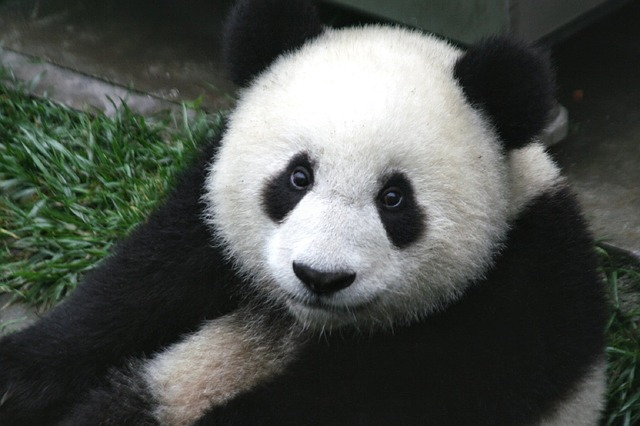 Nagyon picike a világ legkisebb pandája (FOTÓ)