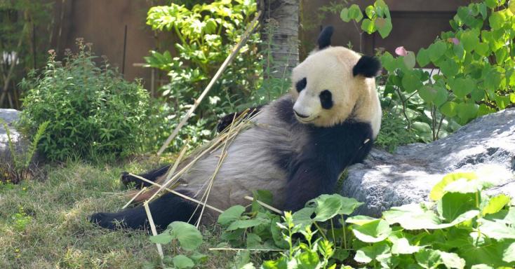 Ikreiszületteka tokiói állatkert óriáspandájának