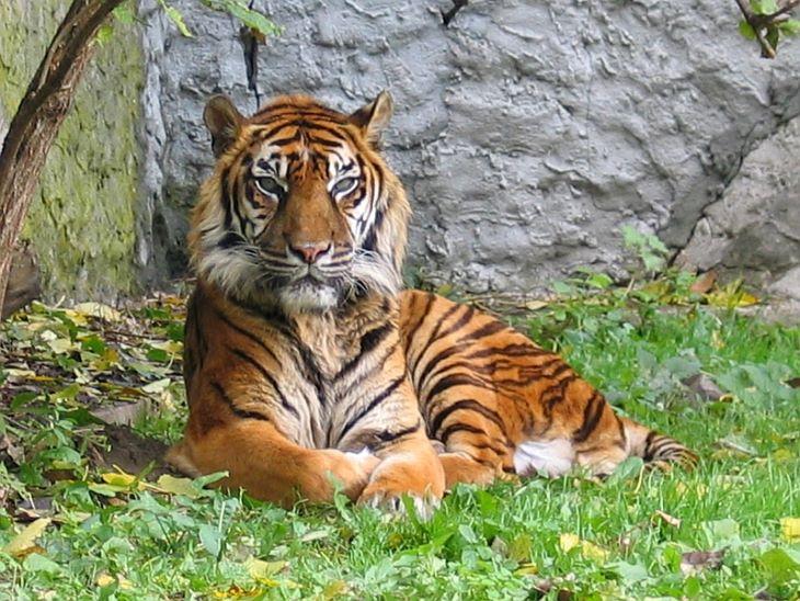 Ritka szumátrai tigris pusztult el, miután drótcsapda foglya lett