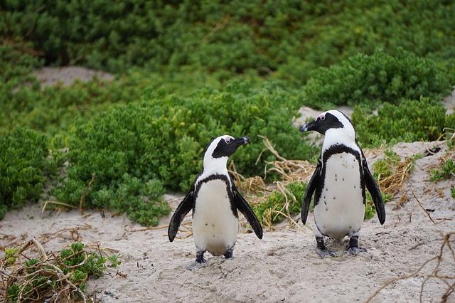 Kihalás fenyegeti egy apró ausztráliai sziget pingvinjeit az ember jelenléte miatt