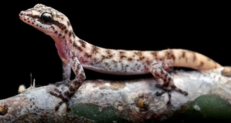 Két újabb gyíkfajt fedeztek fel a Galápagos-szigeteken