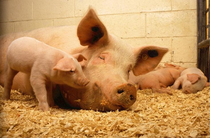 A disznók levágását javasolják az állatorvosok 13 keleti településen