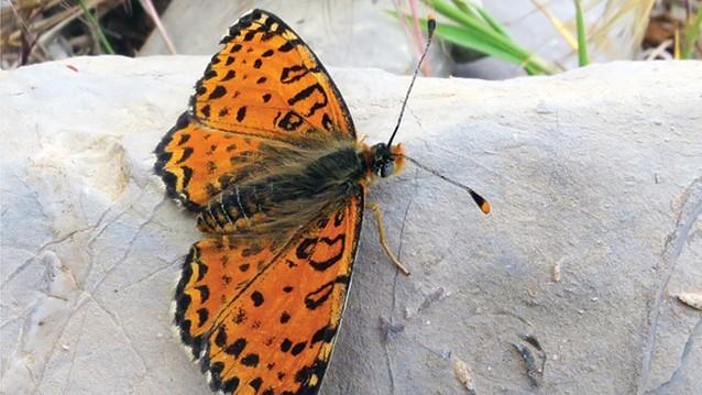 Bámulatos pillangófajt fedeztek fel