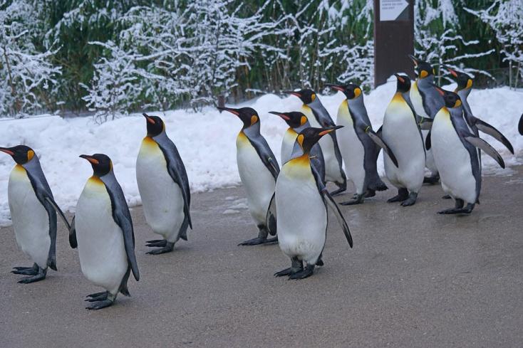 Ritka fehér pingvint fedeztek fel a Galápagos-szigeteken