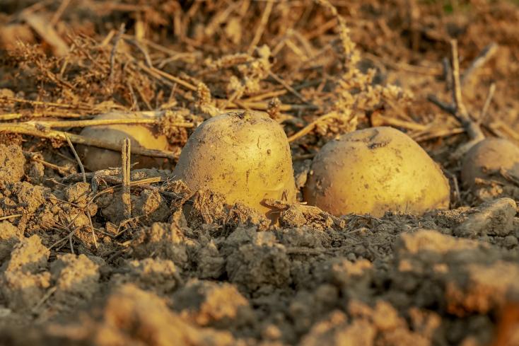 Hőálló burgonyát fejlesztettek ki német kutatók