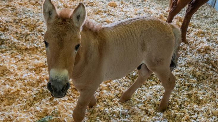 Először sikerült klónozni a vadonban már szinte teljesen kihalt lófajt