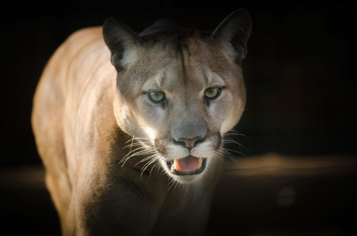 Puma sebesített meg egy kisgyereket Kaliforniában