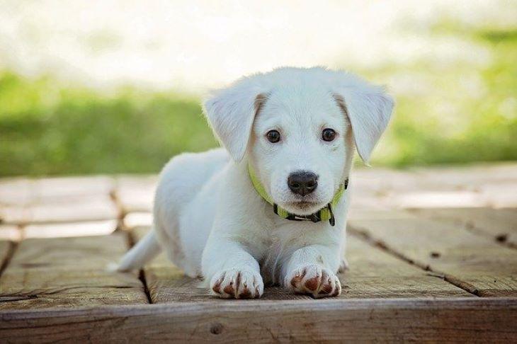 Okosnyakörvet fejlesztett kutyáknak egy dél-koreai vállalkozás