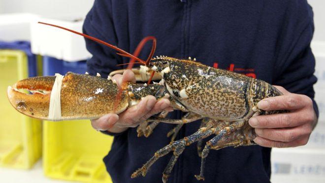 A homár és más rákok élve főzése ellen kampányolnak