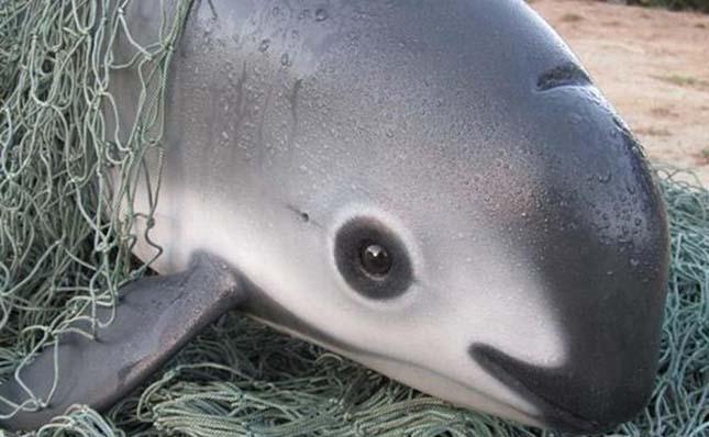 Kihalás előtt áll a kaliforniai disznódelfin