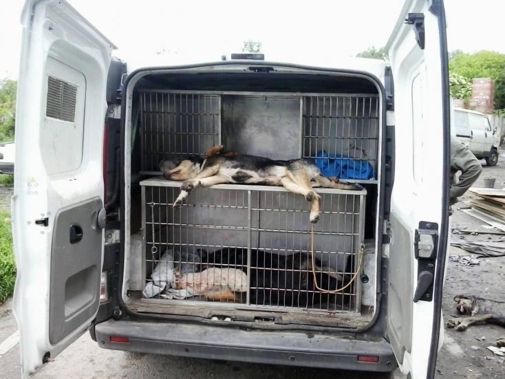 Törvényes kutyapecérek - Befogták a Dunaszerdahelyen ólálkodó kutyafalkát